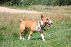 Red and white english bull terrier walking at the field Royalty Free Stock Photos