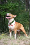 Red and white english bull terrier walking at the field Royalty Free Stock Photo
