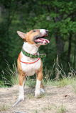 Red and white english bull terrier walking at the field Royalty Free Stock Image