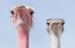 A red and a white face Ostrich Stock Photography