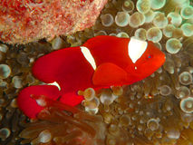 Red and white fish in coral. Close up of red and white fish swimming next to coral reef Stock Photos
