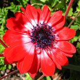 red-and-white flower Stock Photography