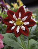 Red and White Flower. A beautiful velvety red and white flower in bloom Stock Photography