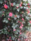 Red and white flower bush. Red and white flower, speckled flower, red and white speckled flowers, red and white roses, rose bush Stock Photos