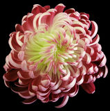 Red-white flower chrysanthemum.  Motley garden flower.  black  isolated background with clipping path no shadows.  Closeup. Stock Photo