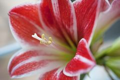 Red and white flower - Hippeastrum Stock Images