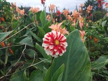 A red and white flower with orange flower in background. A red and white flower with orange flower Stock Photo