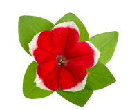 Red white flower of petunia with green leaves isolated on white background Royalty Free Stock Photos