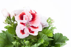 Red-white flower of a two-color geranium Royalty Free Stock Photo