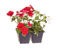 Red- and white-flowered impatiens seedlings ready for transplant. Pack containing two seedlings of impatiens plants (Impatiens wallerana) flowering in red and stock images