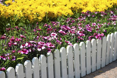 Red-and-white flowers. And white fence in sunshine Stock Photos