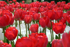 Red white flowers. A field of red and white flowers Royalty Free Stock Photography