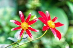 Red and white flowers blooming in garden.  Stock Photography