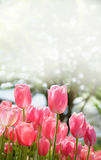 Pink tulip flowers blooming in the garden. Stock Images