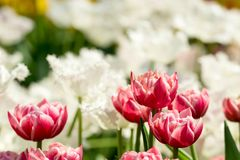 Red and white flowers with a blurry background royalty free stock photography