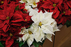 Red and white Flowers Christmas star. In decor royalty free stock images