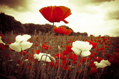 Red and white flowers in field under illuminated sky Stock Image