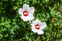 Red white flowers with five petals. Two flowers are not branches Royalty Free Stock Photos