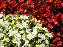 Red and white flowers. Red and white. Half of the image is occupied by red flowers and the other half - white flowers. For backgrounds or wallpapers. Image Stock Image