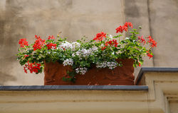 Red and White Flowers in Planter Royalty Free Stock Image