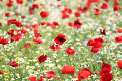 Red and white flowers Stock Photography