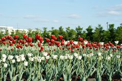 Red and white flowers tulips. The ranks of the red white tulips Royalty Free Stock Photos