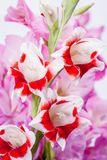 Red and white flowers. Two color gladiolus flowers of red and white in front of pink flowers in vertical composition Stock Photo