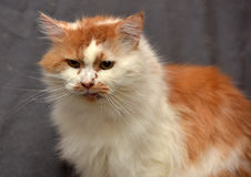 Red with white fluffy cat Stock Image