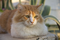 Red with white fluffy outdoor cat Royalty Free Stock Photos