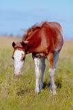 Red with white a foal on a meadow. Foal on a meadow. The horse is grazed. Horse on a pasture. The horse eats a grass Stock Image