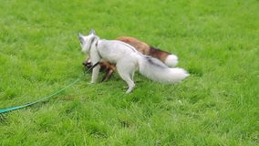 Red and white fox in the harnesses are fun playing on the green lawn. stock footage