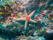 Red white Fromia Starfish stock photography