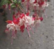 Red And White Fushia Royalty Free Stock Photos