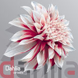 Red-white garden dahlia Royalty Free Stock Photos
