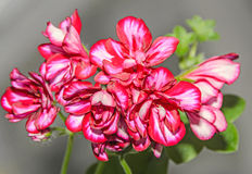 Red with white geraniums flowers, Pelargonium close up Stock Image
