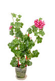 Red with white geraniums ornamental flower, Pelargonium isolated Stock Photo