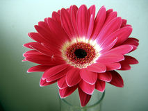 Red-White Gerbera Flower Close up on Green Background Stock Photos
