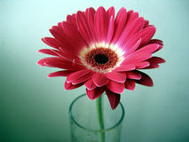 Red-White Gerbera Flower in a Glass on Green Background Stock Photos