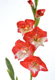 Red and white gladiolus Royalty Free Stock Image