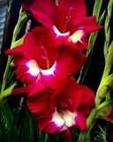 Red and white Gladiolus Stock Images