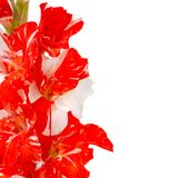 Red white gladiolus on white Royalty Free Stock Photography