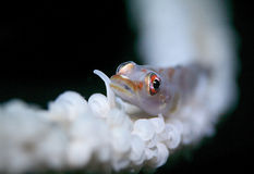 Red and white goby fish Stock Photo