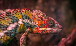 Red, White and Green Chameleon Stock Photography