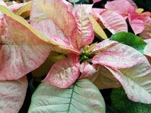 Red, white, green poinsettias. At Christmas royalty free stock photo