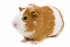 Red and white guinea pig isolated on white stock photos