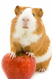 Red and white guinea pig and red apple. Over white background royalty free stock photo
