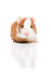 Red and white guinea pig on white background Royalty Free Stock Images