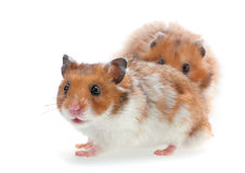 Red and white hamster Stock Photography