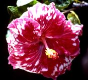 red-and-white hibiscus stock image