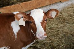 Red and White Holstein Calf Looking at Camera royalty free stock images